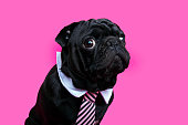 Black pug dog portrait on pink bacground. Puppy wearing bow tie.