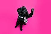 Black pug dog with paw up wearing tie. Puppy high five on pink background
