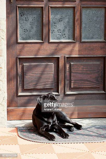 Black pug lying in front of the front-door in the sunshine