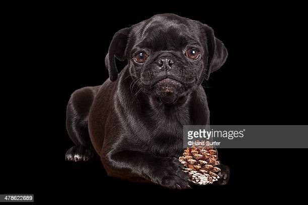 Black Pug Puppy on black!