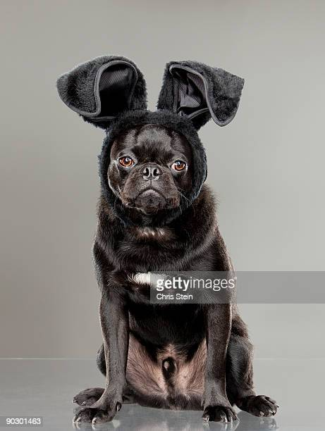 Black pug wearing black bunny ears