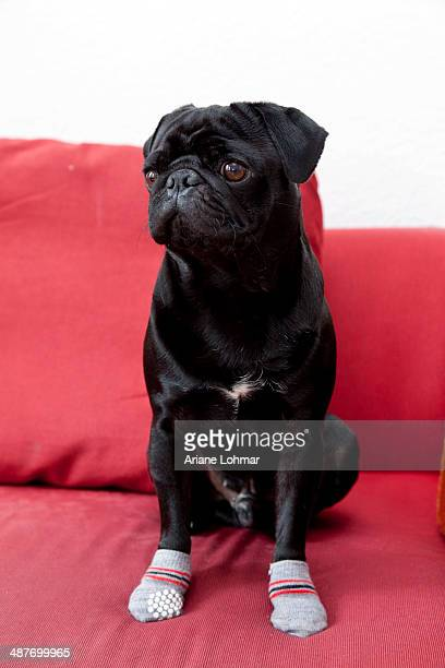 Black Pug with a injured paws on red sofa