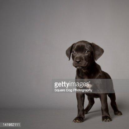 Black puppy : Stock Photo