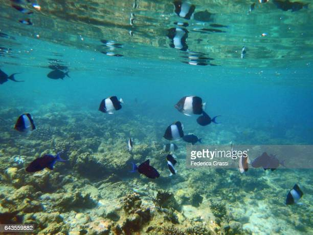 Black Pyramid Butterflyfish (Hemitaurichthys zoster) and Odonus niger (Red-toothed Triggerfish)