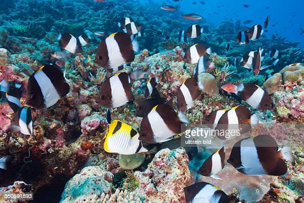 Black Pyramid Butterflyfish Hemitaurichthys zoster Thaa Atoll Maldives