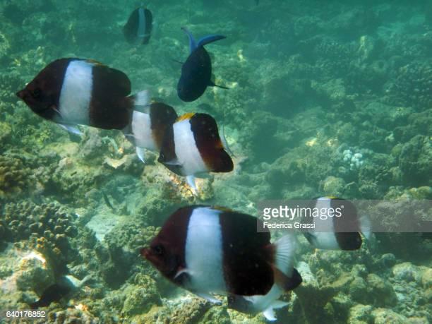 Black Pyramid Butterflyfish (Hemitaurichthys zoster) on Maldivian Atoll Coral Reef