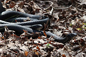 An entanglement of black racer snakes during a mating ritual.