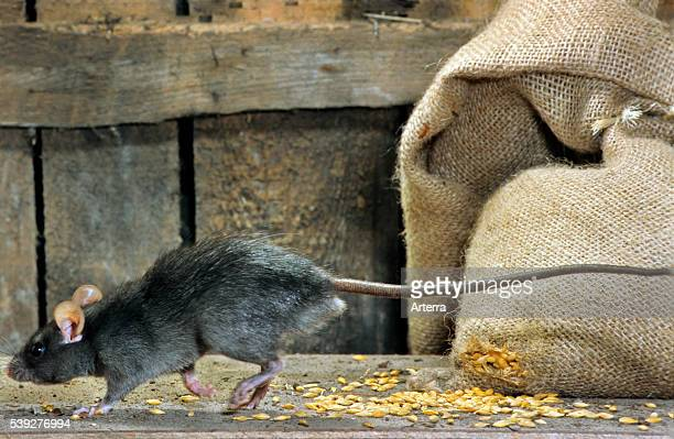 Black rat in barn running past bag of cereals at farm