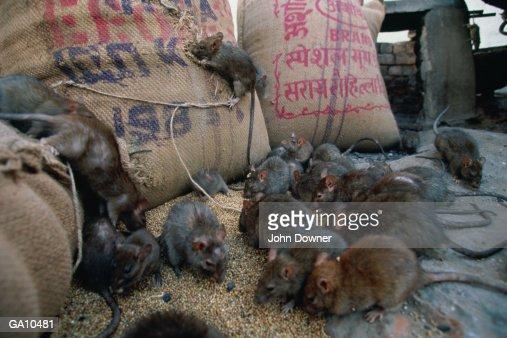 Black Rats (Rattus rattus) : Stock Photo