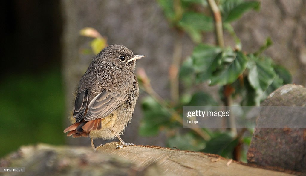 Black Redstart (Phoenicurus ochruros) : Stockfoto