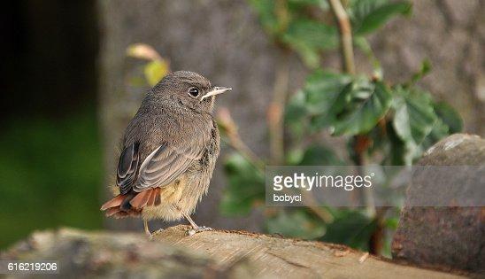 Black Redstart (Phoenicurus ochruros) : Stock Photo