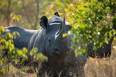 Black rhino female and calf with Oxpeckers on her back