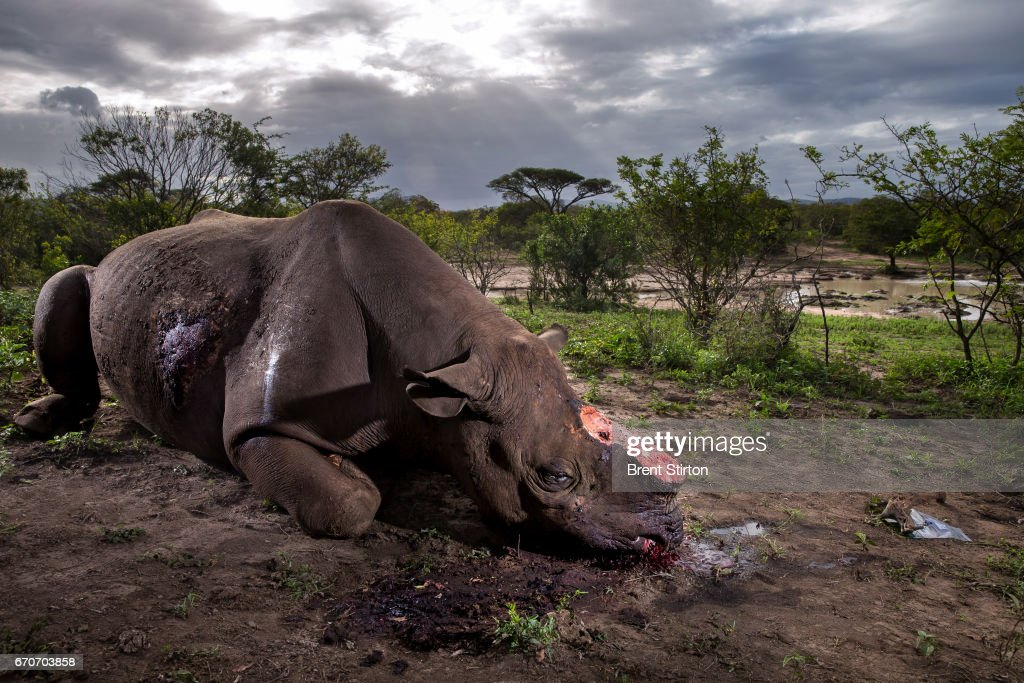 The Deadly Rhino Horn Trade