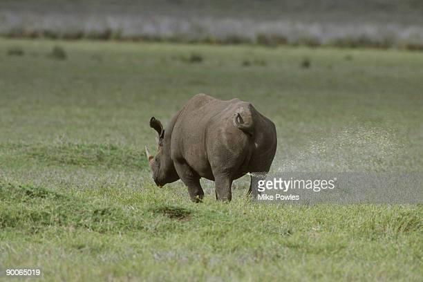 black rhino diceros bicornis male marking territory ngorongoro crater, tanzania