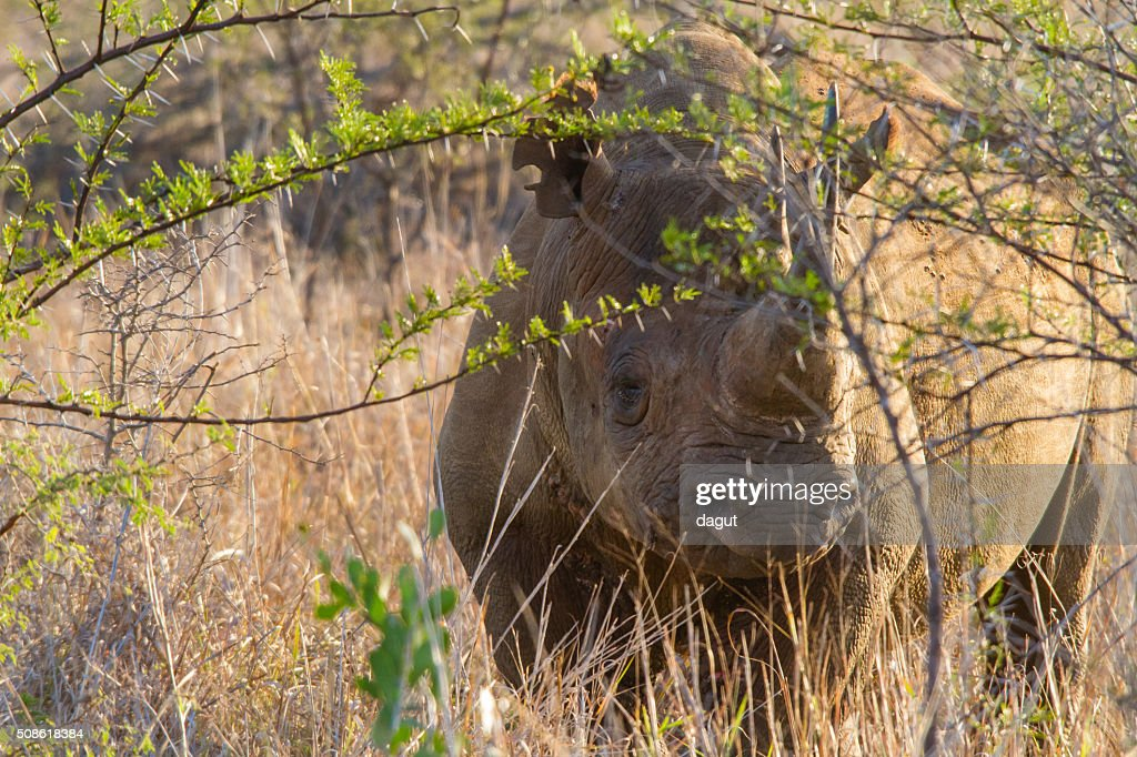 Black Rhino : Stock Photo