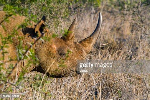 Black Rhino : Stock Photo