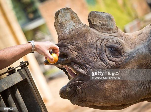 Black rhino Tororo gets an apple from her keeper on April 18 2013 at the zoo in Frankfurt am Main western Germany AFP PHOTO / FRANK RUMPENHORST /...