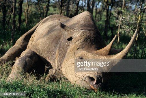 Black rhinoceros (Diceros bocornis) lying down, (Close-up) : Stock Photo