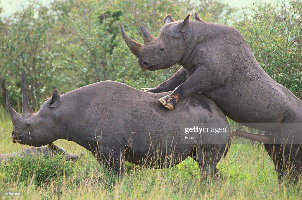 Pics Of A Female Black Rhino 38