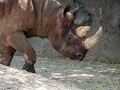 A Black Rhinoceros Walking Around
