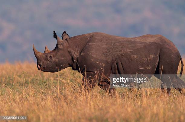 Black rhinoceros (Ceratotherium simum) walking on savannah, Kenya