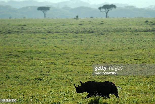 Black rhinocerous with a tranquiliser dart ambles as it succumbs to the effects of a sedative at the Lewa wildlife conservancy in Laikipia county...