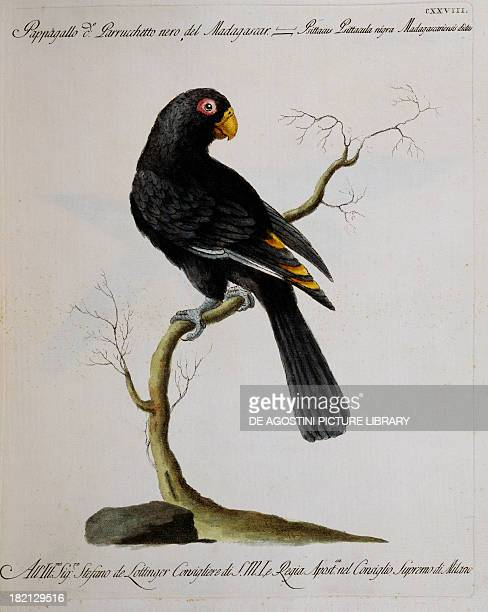 Black Ringnecked Parakeet or Parrot from Madagascar colour etching by Lorenzo Lorenzi and Violante Vanni from Natural History of Birds by Saverio...