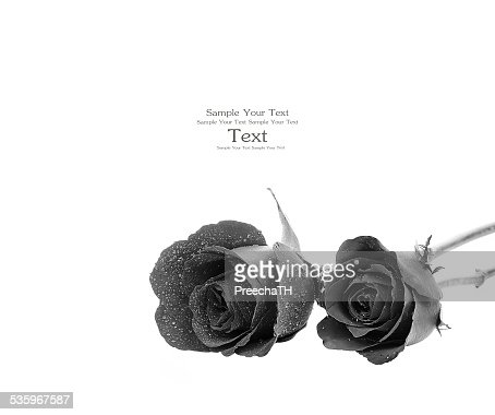 black rose isolated on white background : Stock Photo