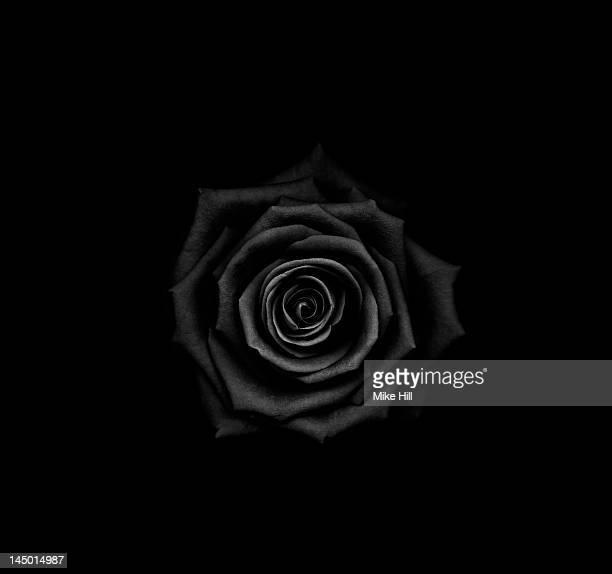 Black rose ( Rosa sp.) on black