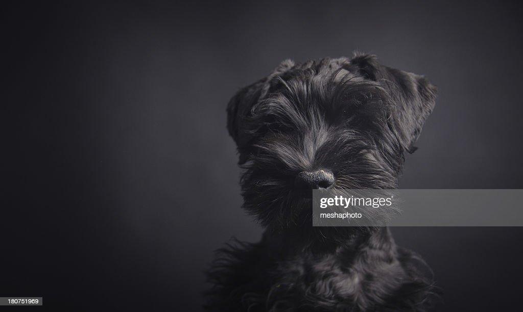 Black Schnauzer : Stock Photo