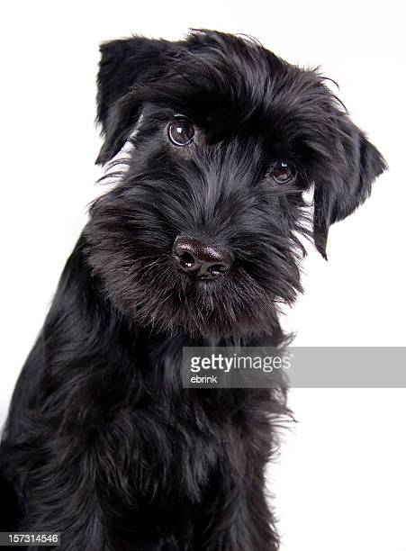 Black Schnauzer puppy dog looking curious