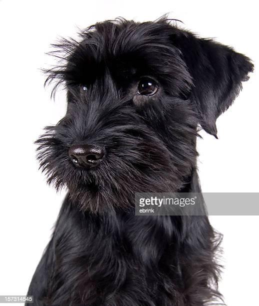 Black Schnauzer puppy portrait