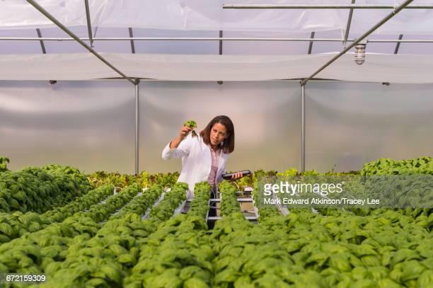 Black scientist examining green basil plant in greenhouse