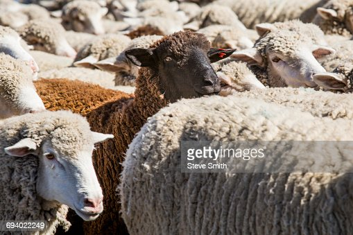 Black Sheep In Herd Of White Sheep Stock Photo | Getty Images