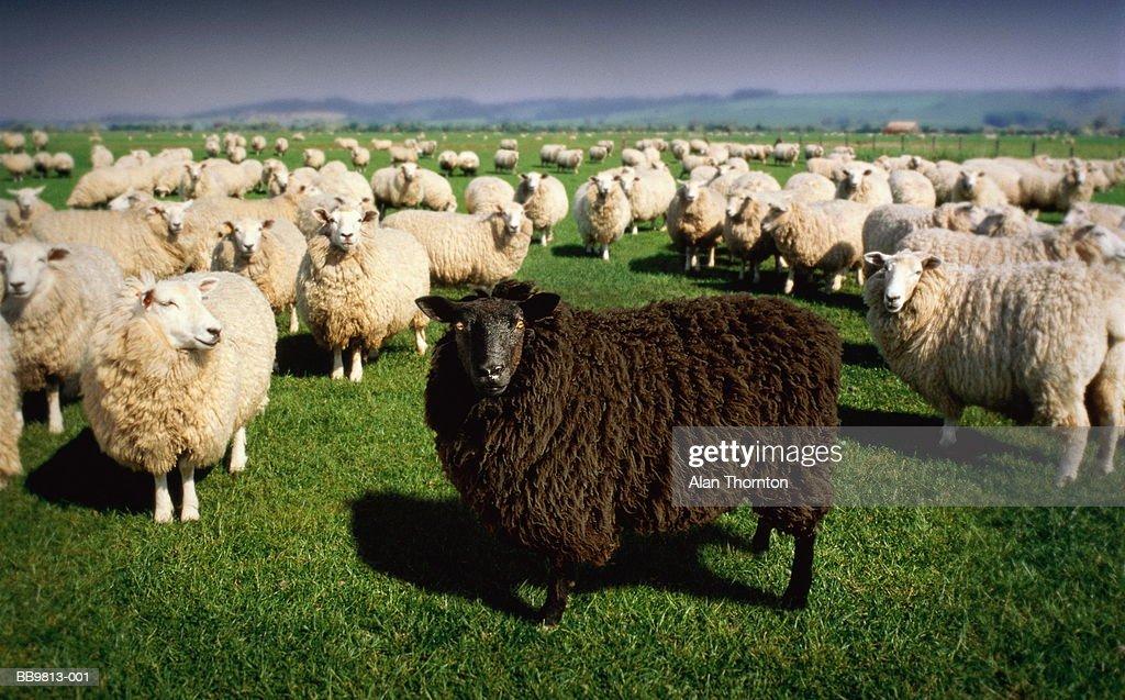 Black sheep standing amongst flock of white sheep (Digital Composite)