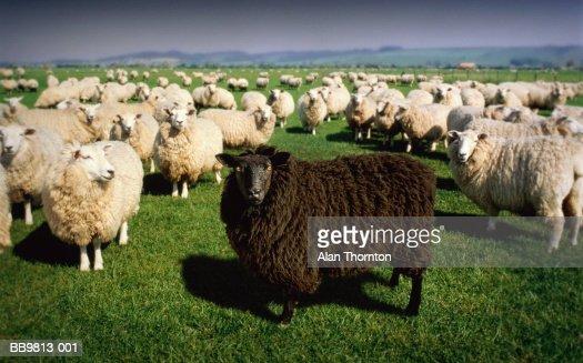 White sheep herd - photo#11