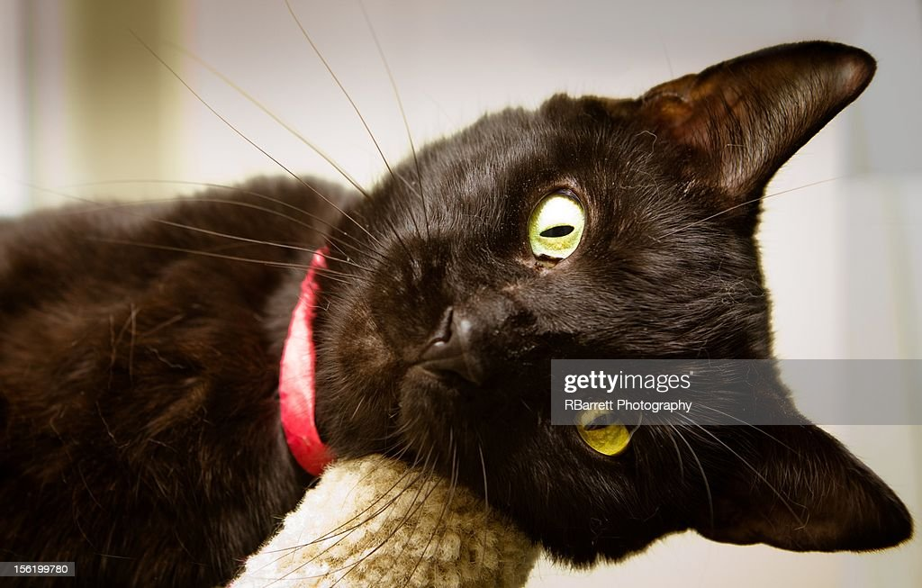 Black Shelter cat : Stock Photo