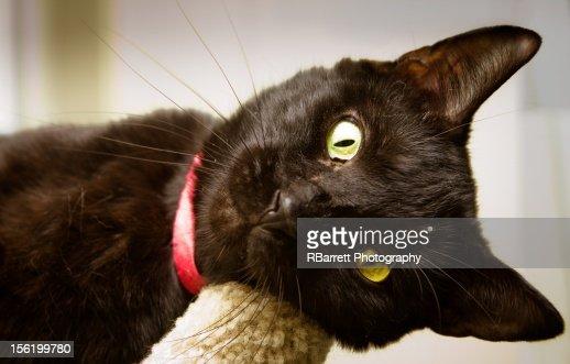 Black Shelter cat : Stock Photo