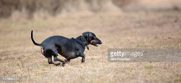 Tasso a pelo corto nero cane sull'erba secca