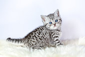 Young black silver tabby cat sitting on sheepskin. We breed with the british short hair black silver tabby cats. These pets can have the spotted or the blotched pattern. In this case the young kitten