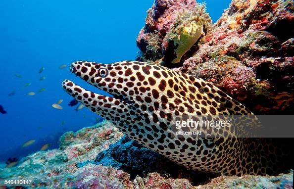 ... moray Gymnothorax melanospilos Maldives Island Indian Ocean Ari Atol