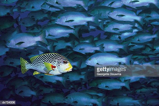 A Black Spotted Sweetlips Swimming in Opposite Direction to School of Snappers