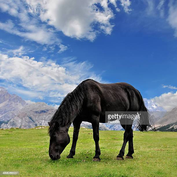 Black stallion at grazing in the mountains