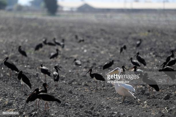 Black storks and a pelican gather in a field in the Jordan Valley near the Israeli town of Beit Shean on October 12 as the birds migrate from Europe...