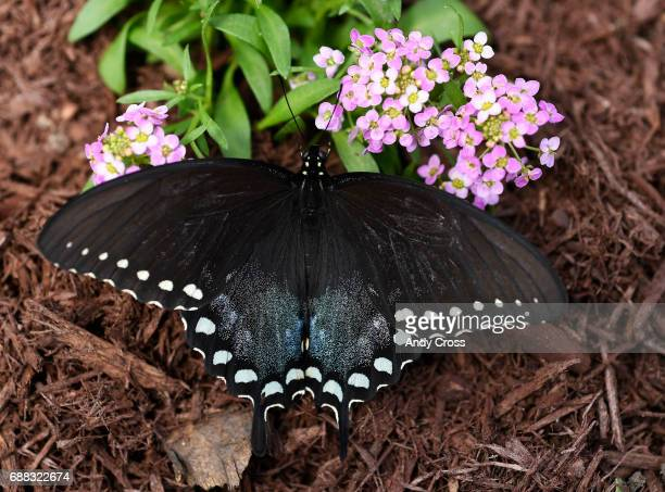 A black swallowtail butterfly clings to a flower at the Butterfly Pavilion and Denver Botanic Gardens fourth annual habitat experience Butterflies at...