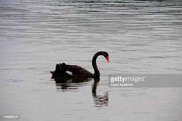 Black swan and reflection on a lake