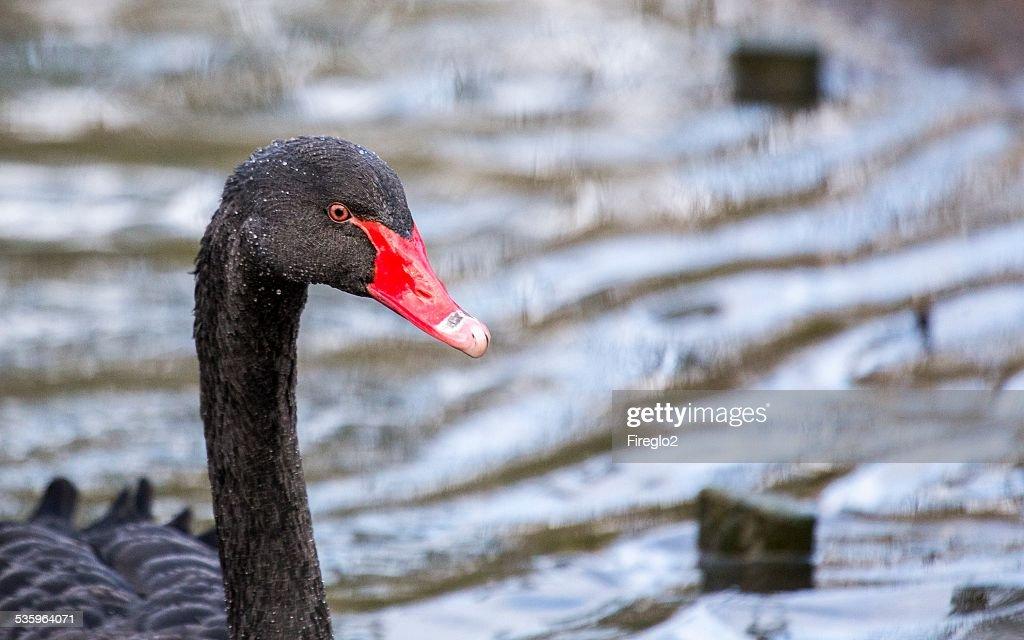 Black Swan : Stock Photo