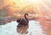 Black swan surrounded by sunlight