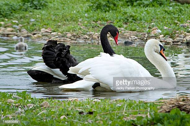 Black swan with white swan