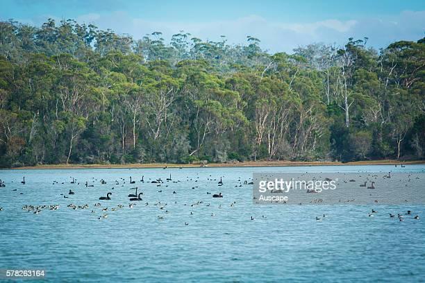 Black swans Cygnus atratus on an inlet in Coles Bay Friendly Beaches Reserve Freycinet Peninsula Tasmania Australia